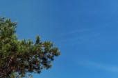 Bottom view of evergreen tree branches with blue sky at background
