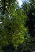 Fa faág zöld levelekkel és fenyőfákkal a háttérben