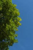 Dolní pohled na větve stromů se zelenými listy a modrou oblohou na pozadí