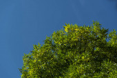 Bottom view of tree branches with green leaves and blue sky at background