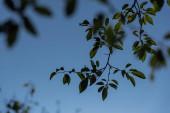 Nahaufnahme von grünen Blättern auf Ästen und blauem Himmel im Hintergrund