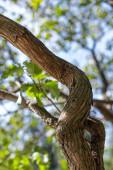Közelkép a szőlő törzs zöld levelek