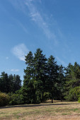 Fotografie Fir trees on grass in park with blue cloudy sky at background
