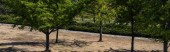 Panoramic shot of evergreen trees in park