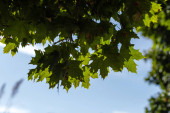 Bottom view of green maple leaves with blue sky at background