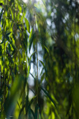 Photo Close up view of branches of willow tree with sunlight