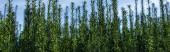 Zelené větve keře s zataženou oblohou na pozadí, panoramatický výstřel
