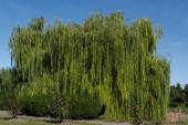 Zelená vrba strom s keři a modré nebe na pozadí