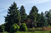 Fenyőfák és zöld bokrok égbolttal a háttérben