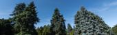 Alacsony szögű kilátás fenyő fák kék ég a háttérben, panoráma lövés