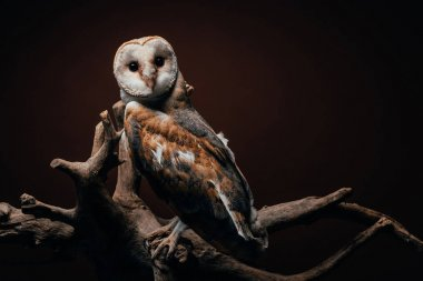 Cute wild barn owl on wooden branch on dark background stock vector