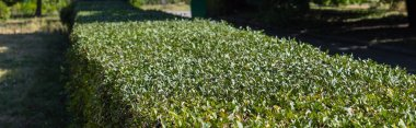 Green trimmed bush in park, panoramic shot stock vector