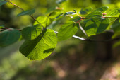 Fotografie Close up view of green leaves on tree branch with sunlight