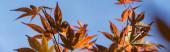 Podzimní listí na javoru s modrou oblohou na pozadí, panoramatický záběr