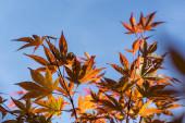 Őszi levelek juharfa ágak kék ég a háttérben