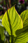 Green leaves with yellow lines and sunlight
