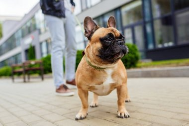 Selective focus of french bulldog and man with leash on street stock vector