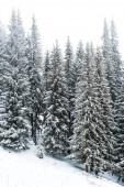 Fotografie Kiefern Wald mit Schnee bedeckt auf einem Hügel mit weißem Himmel auf dem Hintergrund