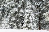 fenyőfák borított hó téli erdőben