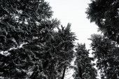 bottom view of pine trees covered with snow with white pure sky on background