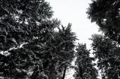 spodní pohled na borovice pokryté sněhem s bílou čistou oblohou na pozadí