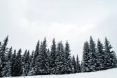malebný pohled na borový les s vysokými stromy pokrytými sněhem na kopci