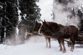 horses with horse harness in snowy mountains with pine trees