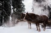 koně s koňským postrojem ve zasněžených horách s borovicemi