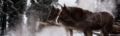 horses with horse harness in snowy mountains with pine trees, panoramic shot