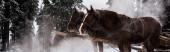 Pferde mit Pferdegeschirr in schneebedeckten Bergen mit Kiefern, Panoramaaufnahme
