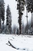 malebný pohled na borový les s vysokými stromy pokrytými sněhem