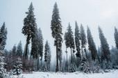 Fotografie malebný pohled na borový les s vysokými stromy pokrytými sněhem