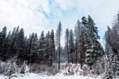 Fotografie malerischer Blick auf Kiefernwald mit hohen Bäumen, die mit Schnee bedeckt sind