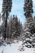 festői kilátás fenyőerdő magas fák borított hó