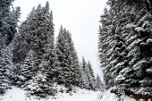 scenic view of pine trees covered with snow in mountains