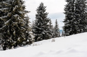 malebný pohled na zasněžené hory s borovicemi