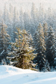 scenic view of pine trees covered with snow in sunshine