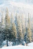 malebný pohled na borovice pokryté sněhem na slunci