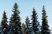 Fotografie malebný pohled na zelené borovice pokryté sněhem na slunci na modrém pozadí oblohy