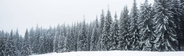 Pine trees forest covered with snow on white sky background, panoramic shot stock vector