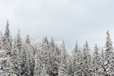 Scenic view of snowy pine trees and white cloudy sky stock vector