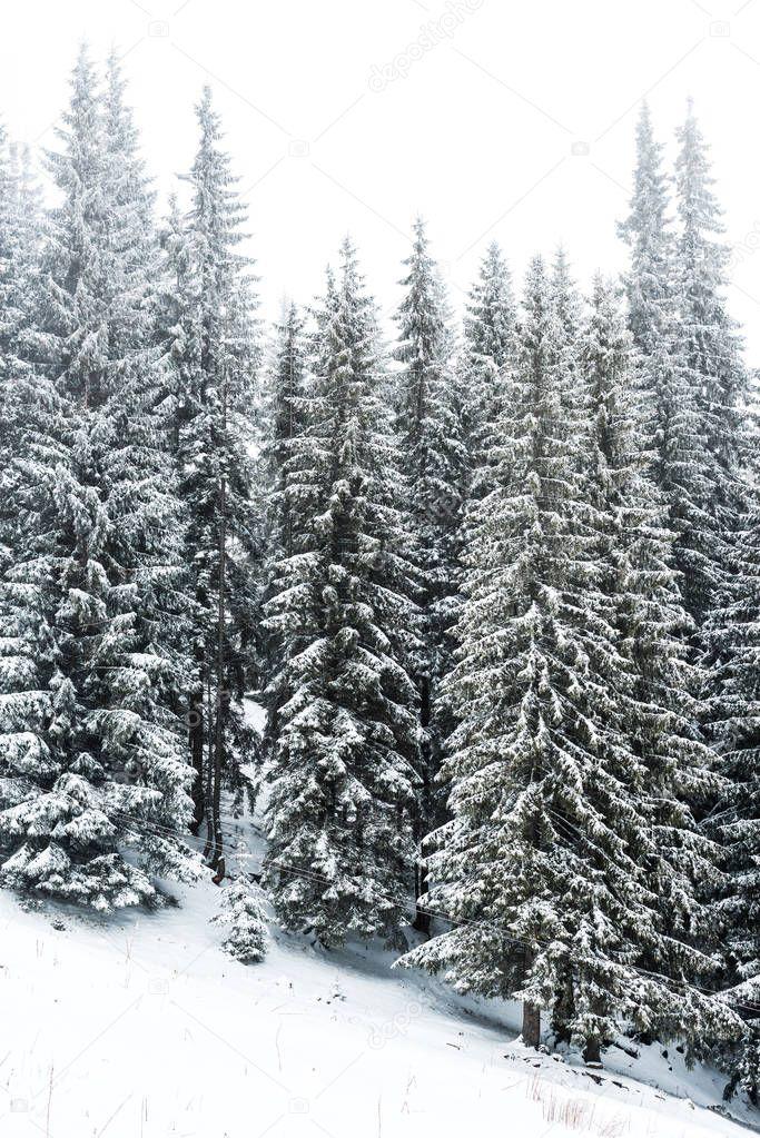 Фотообои хвойные деревья леса, покрытые снегом на холме с белым небом на фоне