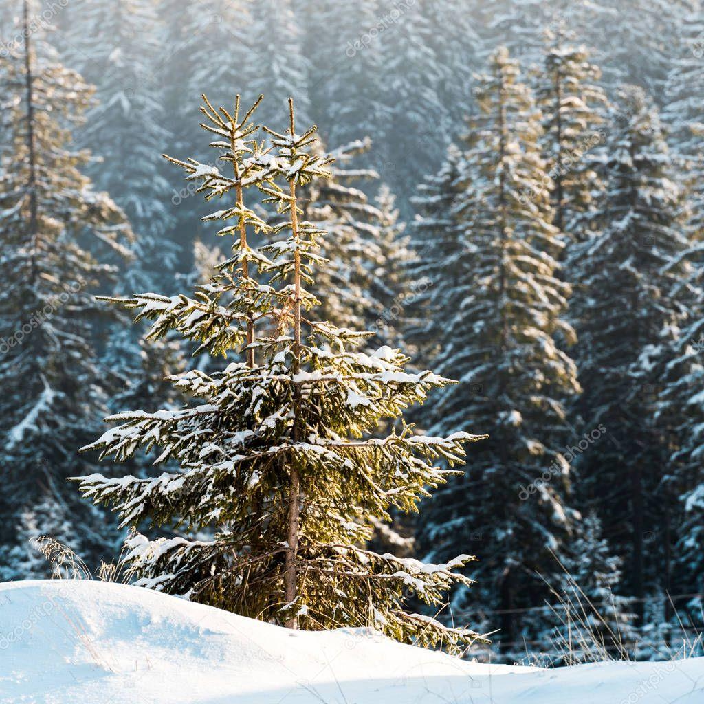 Фотообои scenic view of pine trees covered with snow in sunshine