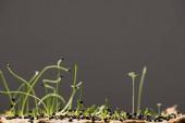 Semena a výhonky mikrozeleně izolované na šedé