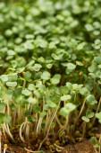 High angle view of microgreens with seeds on soil