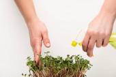 Vágott kilátás nő porlasztó öntözőmikrozöldek elszigetelt fehér