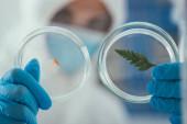 Nahaufnahme von Petrischalen mit grünem Blatt und Biomaterial in den Händen des Biochemikers