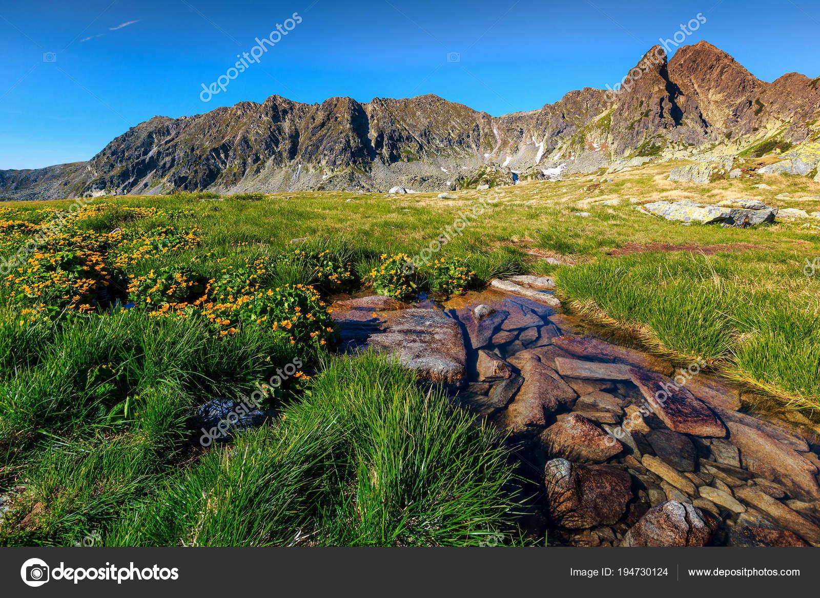 Fiori Alpini Gialli.Fiori Colorati Di Gialli E Ruscello Alpino Della Montagna