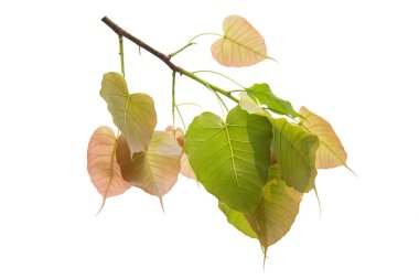 Bodhi leaves isolated on White background or Peepal Leaf from the Bodhi tree, Sacred Tree for Hindus and Buddhist., Used for graphics or advertising work. stock vector