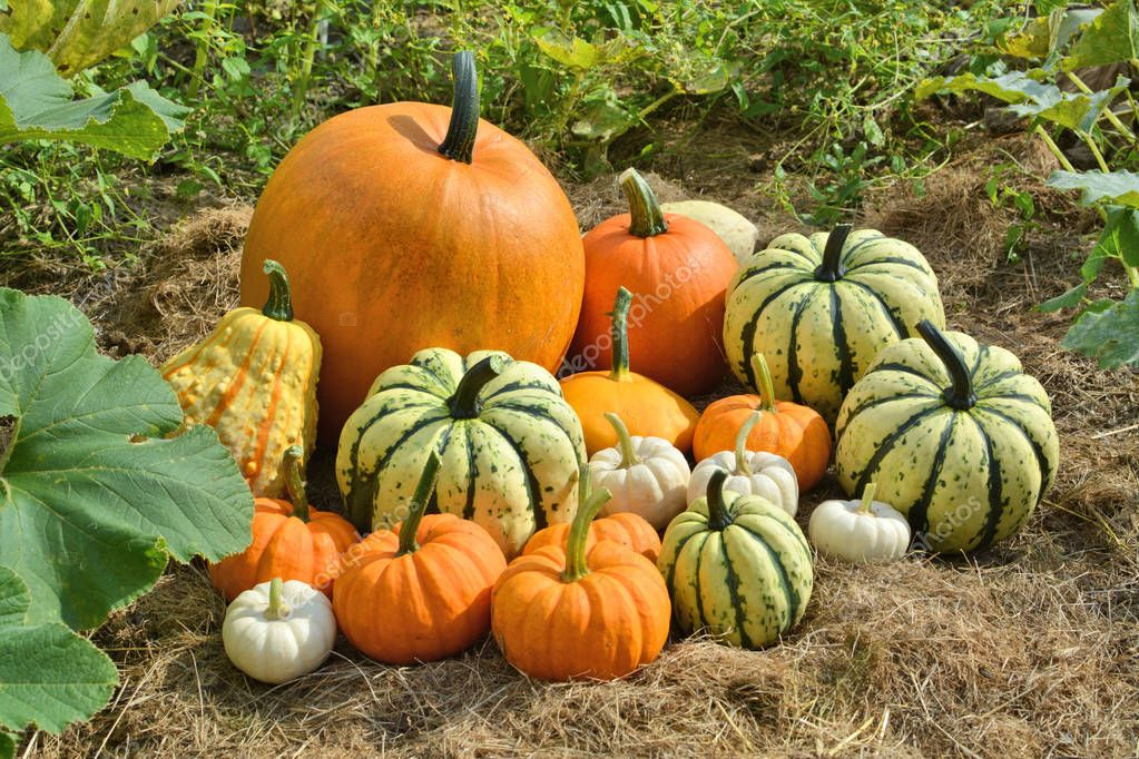 Autumn decorative pumpkins on field